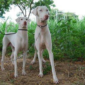 Rajapalayam Dogs