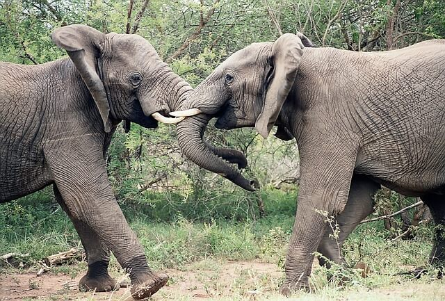elephant fight2