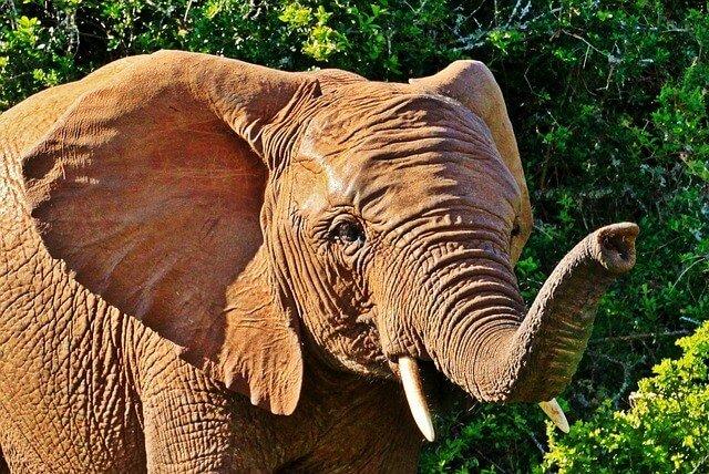 elephant smell