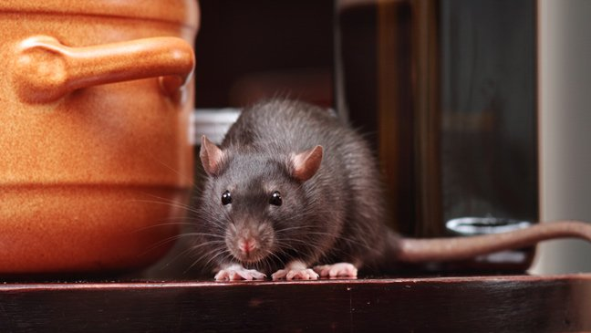 keeping rats and mice out of your house 136401156174102601 151019143941