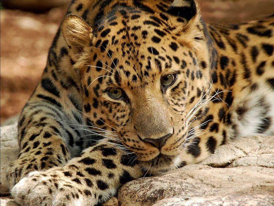 Amur leopard 1