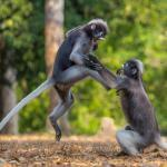 Sergey Savvi-two dusky leaf monkeys