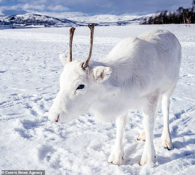 reindeer rare 1