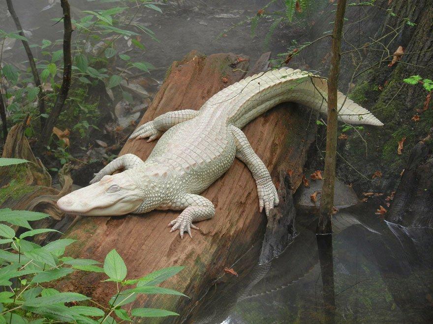 white animals alligator