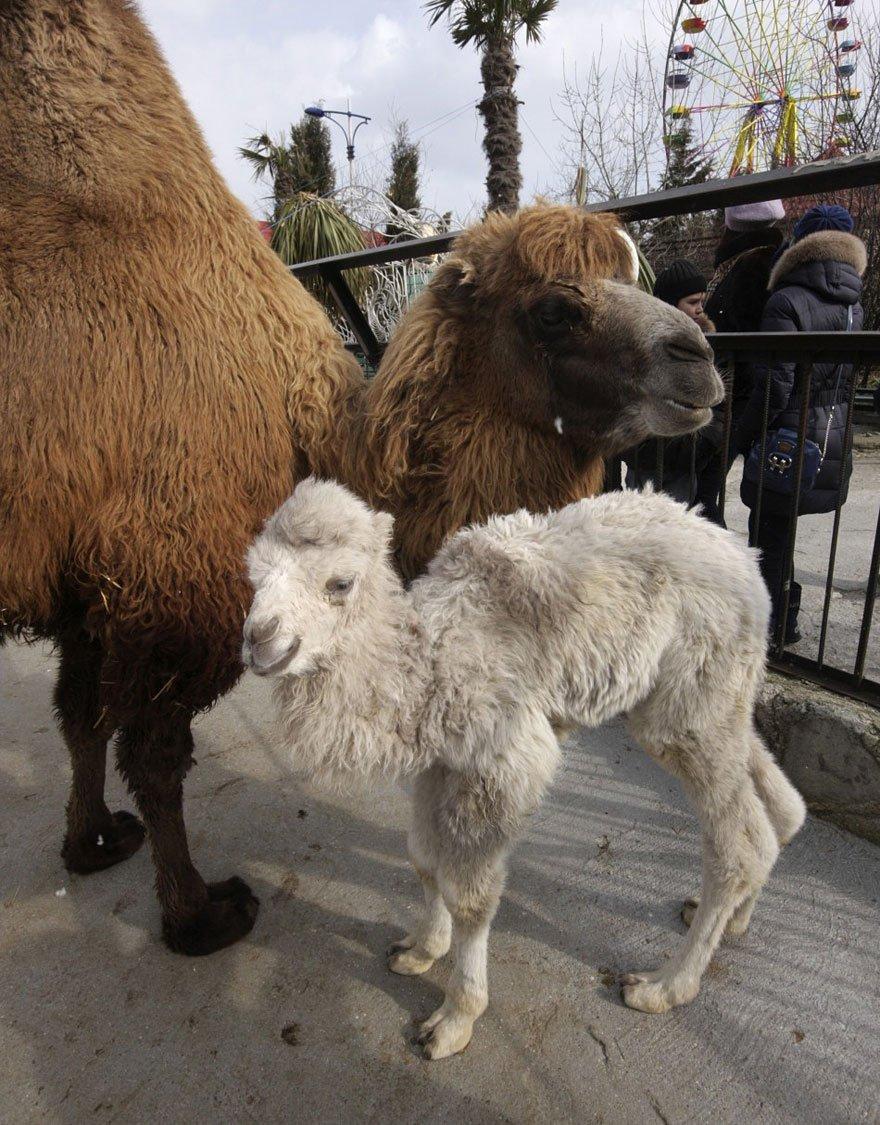 white animals camel