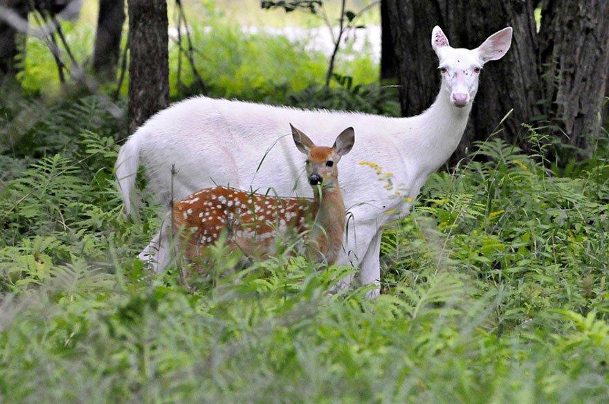 white animals deer