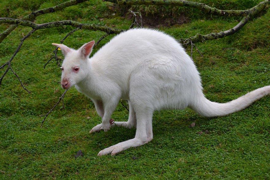 white animals kangaroo