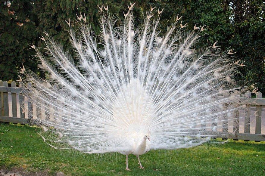 white animals peacock