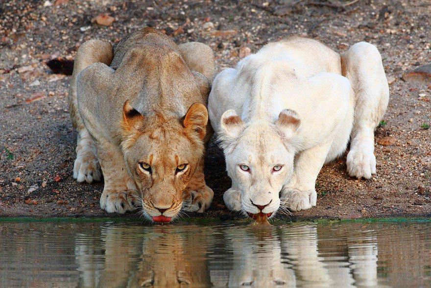 white lion animals