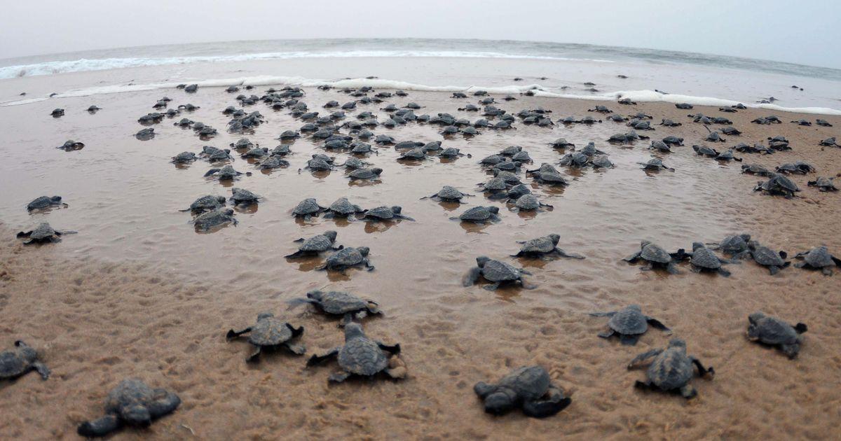 sea turtles eggs