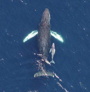 whale-humpback-