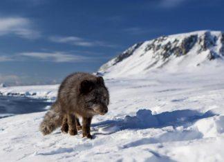 arctic-fox-03