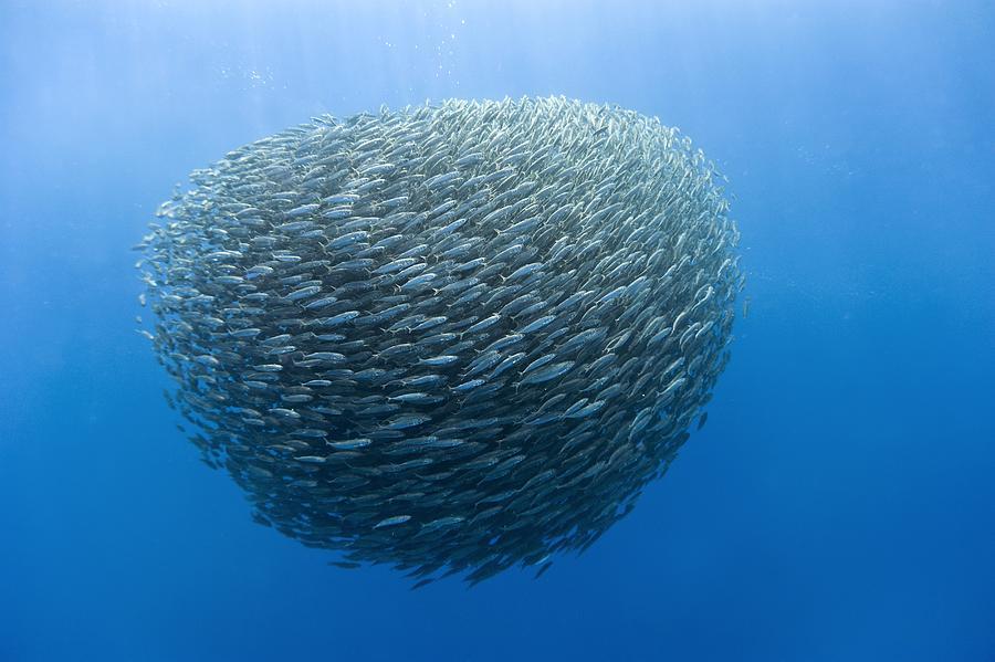 2-blue-jack-mackerel-bait-ball-science-photo-library