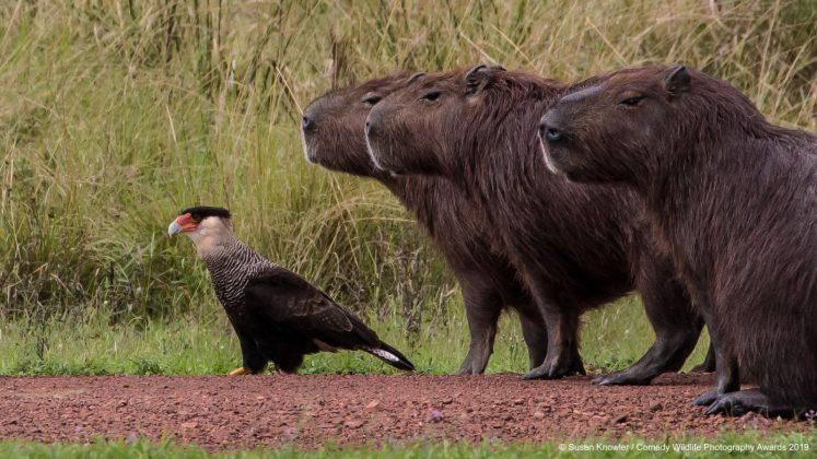 Comedy Wild Life Photography Awards Bird Animal