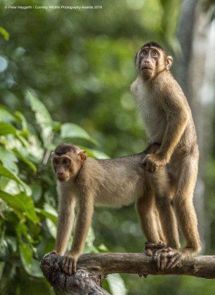 Comedy Wild Life Photography Awards Monkeys