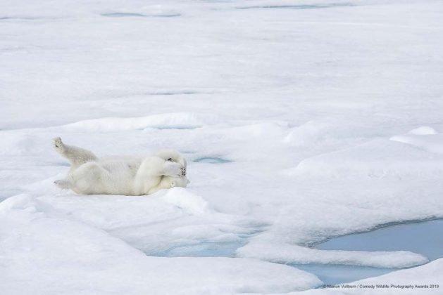 Comedy Wild Life Photography Awards Polar Bear