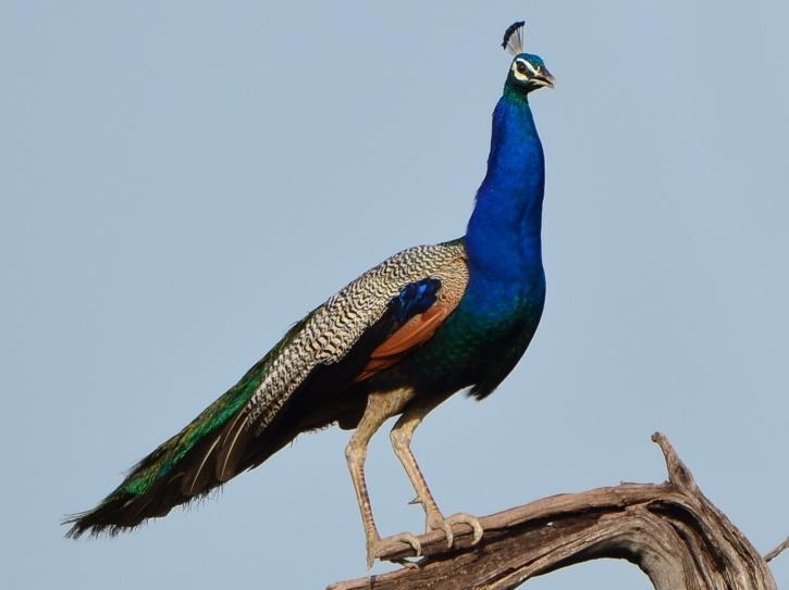 peacock-peafowl-tamil-india-bird