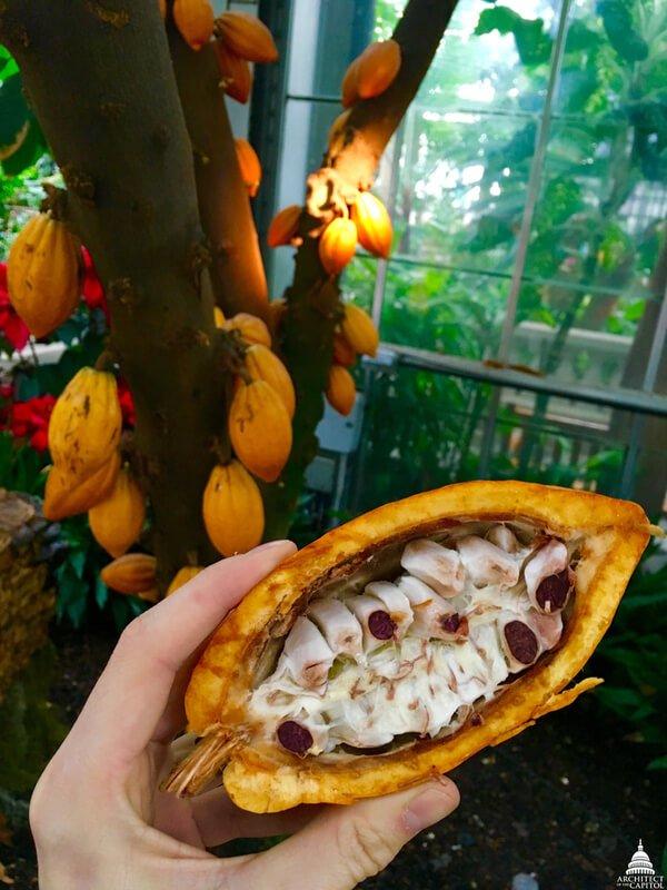 Theobroma cacao tree chocolate tree seeds
