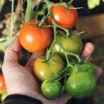 Tomato plant 1