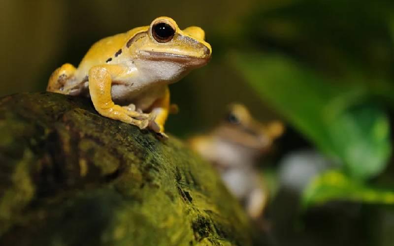 dangerous frog