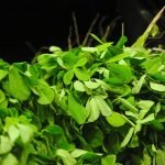 fenugreek 1