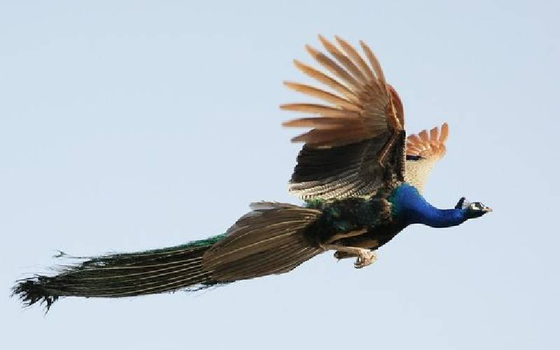 flying peacock1