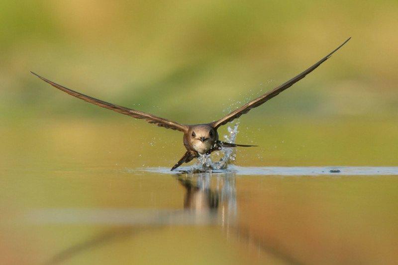 Birds in Flight Silver Pallid Swift Apus