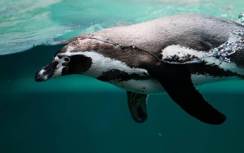 penguind 4