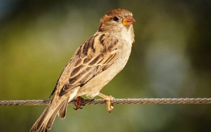 sparrow thump