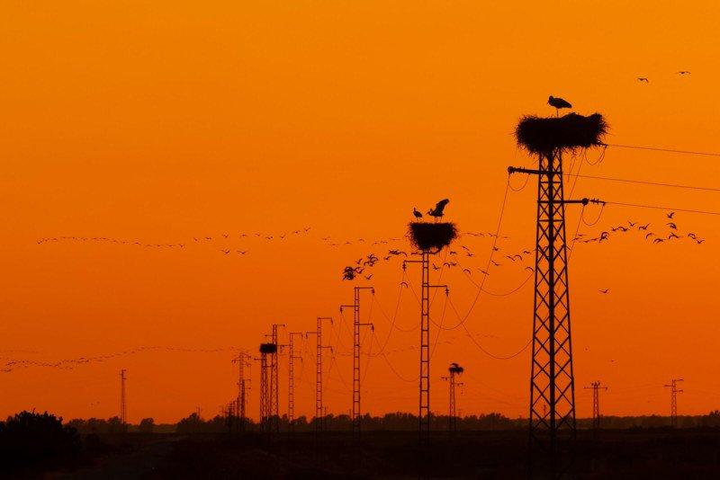 Garden and Urban Birds Bronze Stork Ciconia
