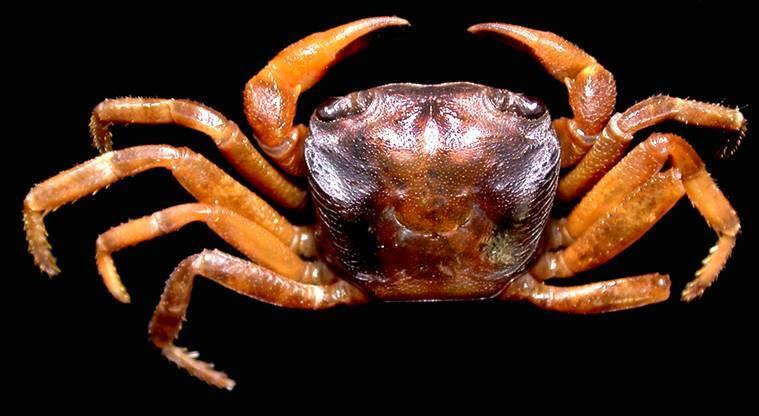Crab species namdapha003