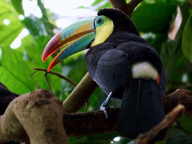 toucan colorful bird