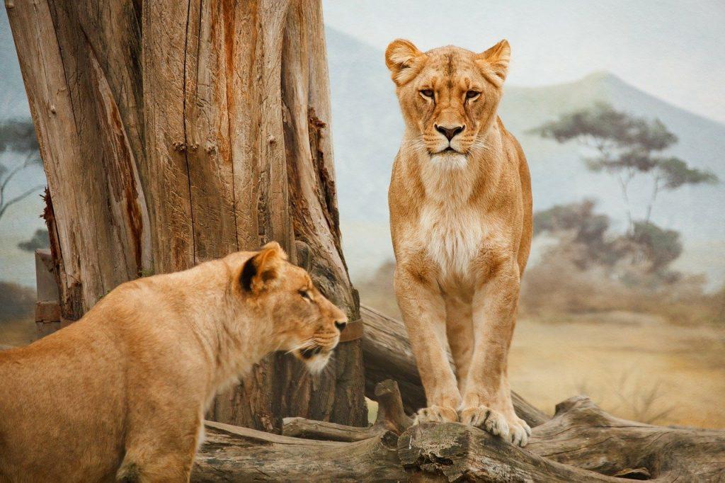 lions 21787 1280