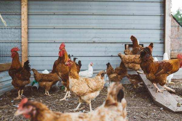 bird-flu-chicken