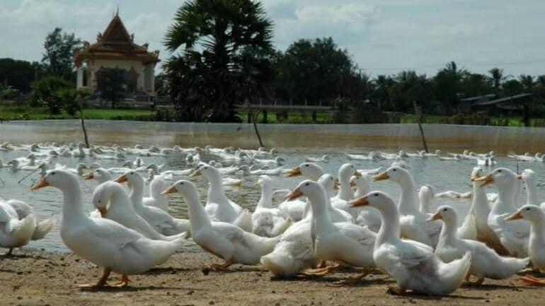 ducks-bird-flu