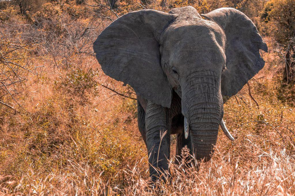 African Elephant min 1