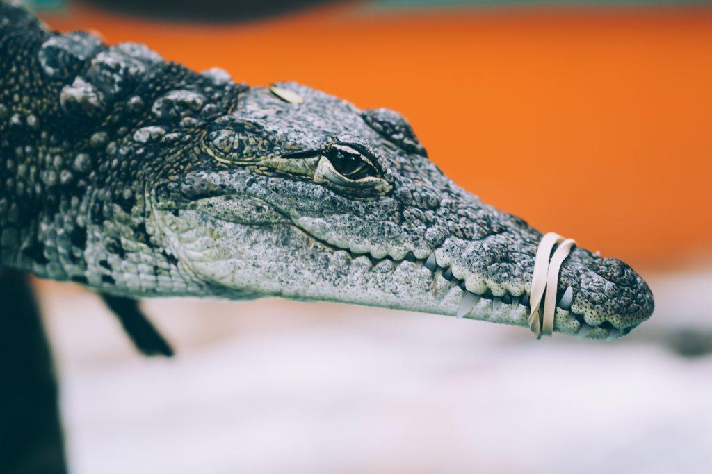 Crocodile Rubber band min