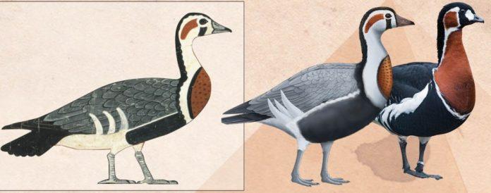 Egypt goose001
