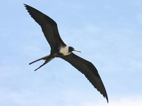 Frigate Bird min