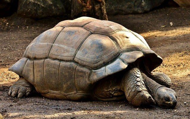 Galapagos Giant Tortoise min