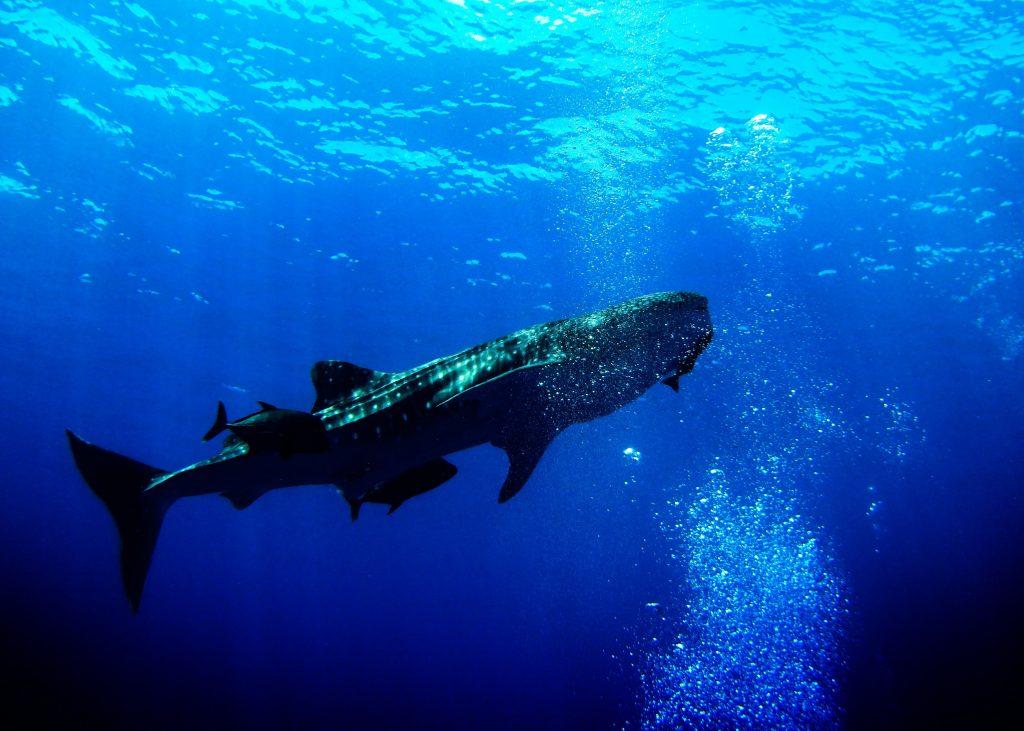 Greenland Shark min