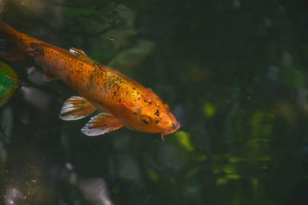 Koi Fish min