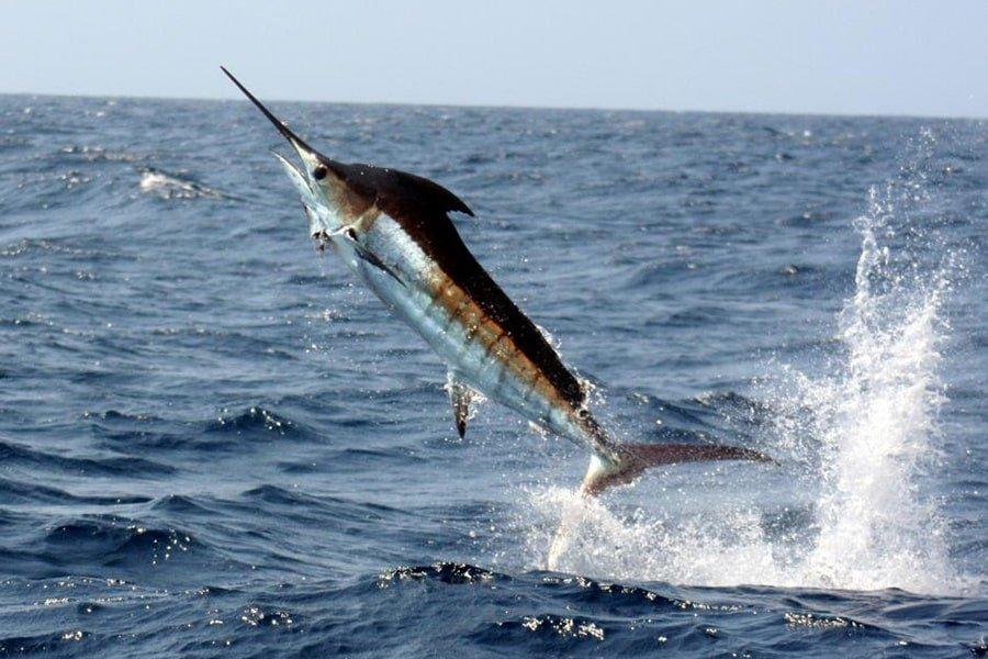 Pacific Blue Marlin NOAA min