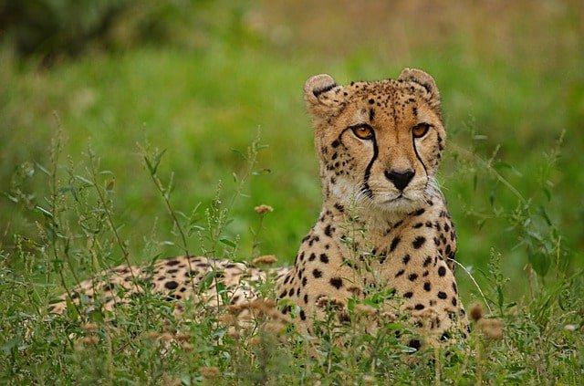 cheetah 3056387 640 min