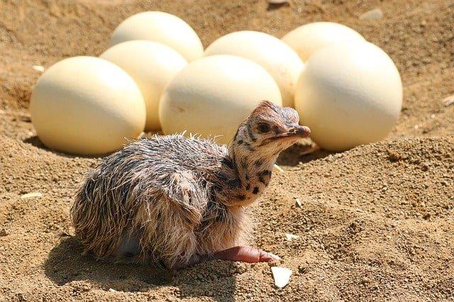 ostrich egg min