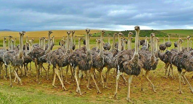 ostriches min