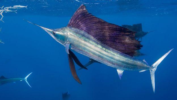sail fish min
