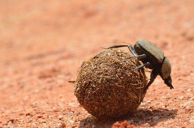 Dung Beetle min