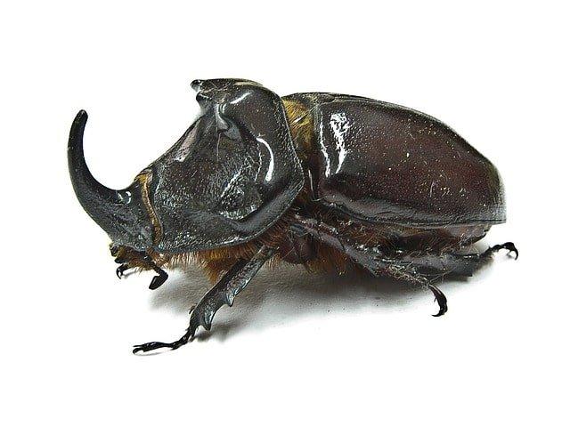 rhinoceros beetle min