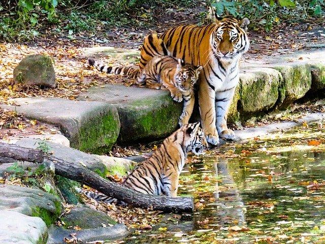 tiger cubs min